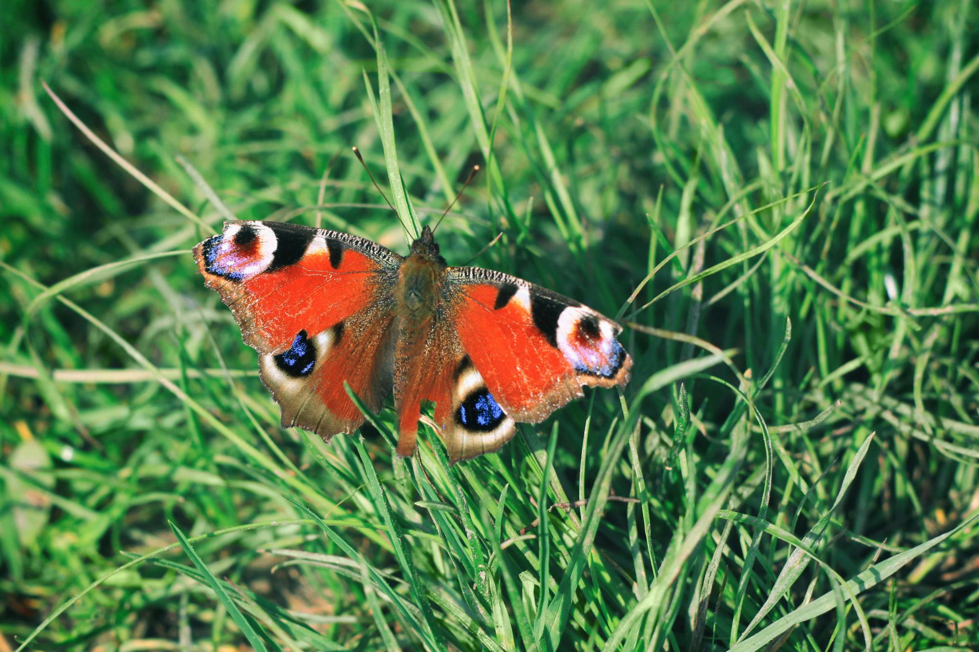 Tagpfauenauge Schmetterling