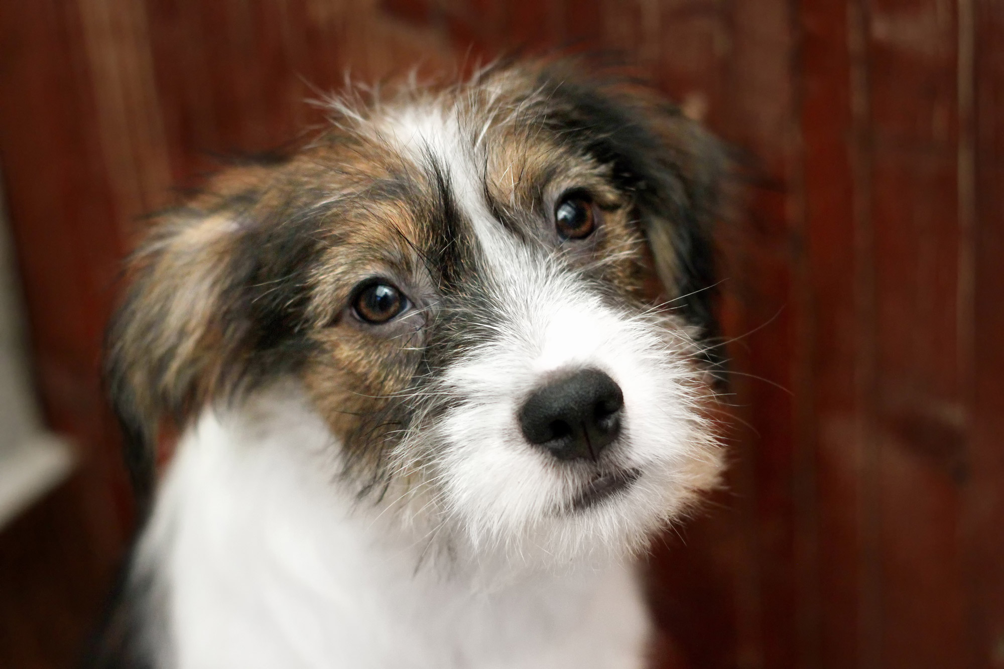 Terrier Welpe