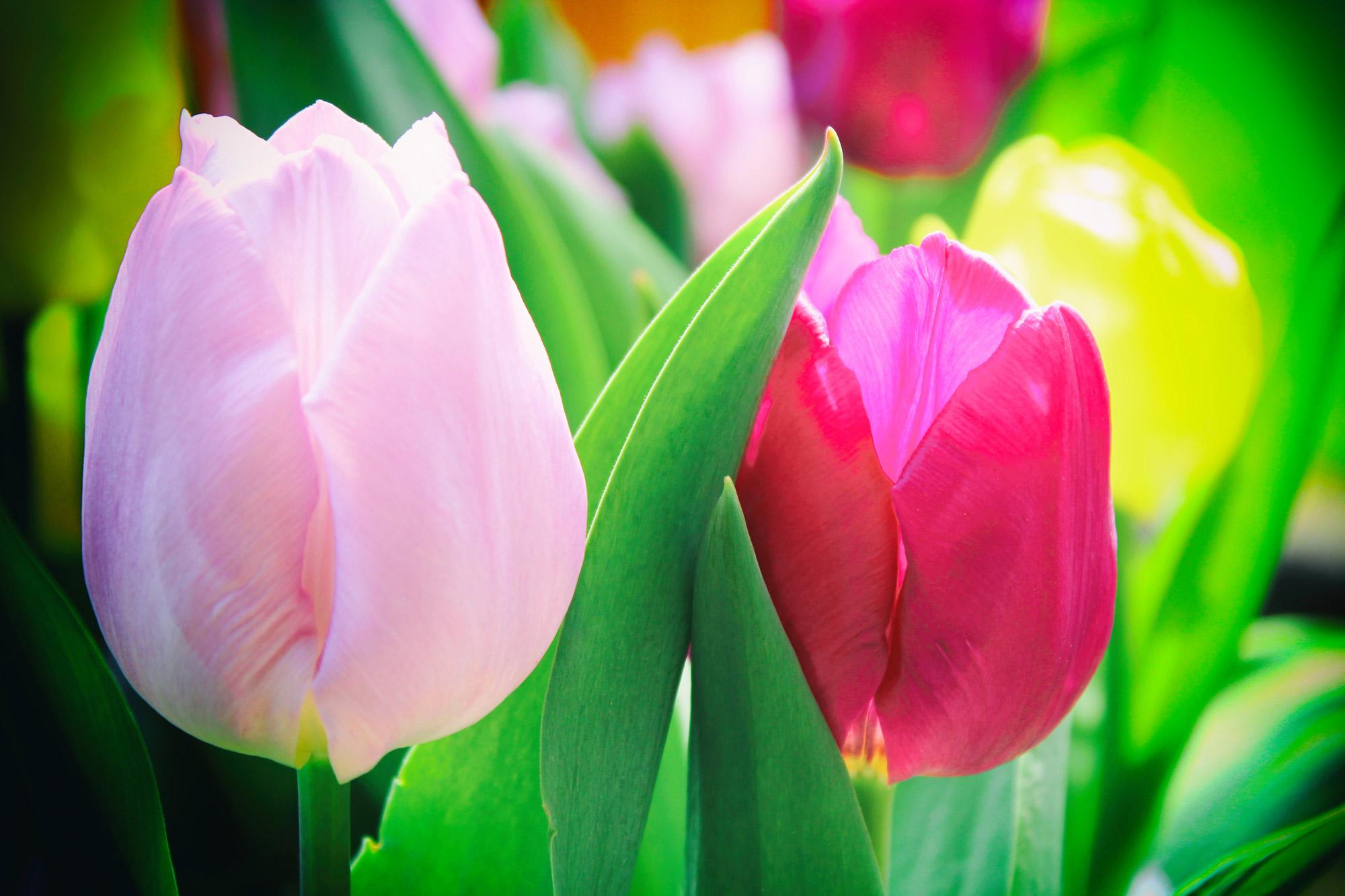 Tulpen Blüten