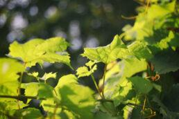 Weinblätter Weinrebe