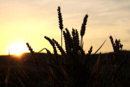 Weizenfeld Sonnenuntergang