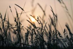 Wiesengräser Sonnenuntergang