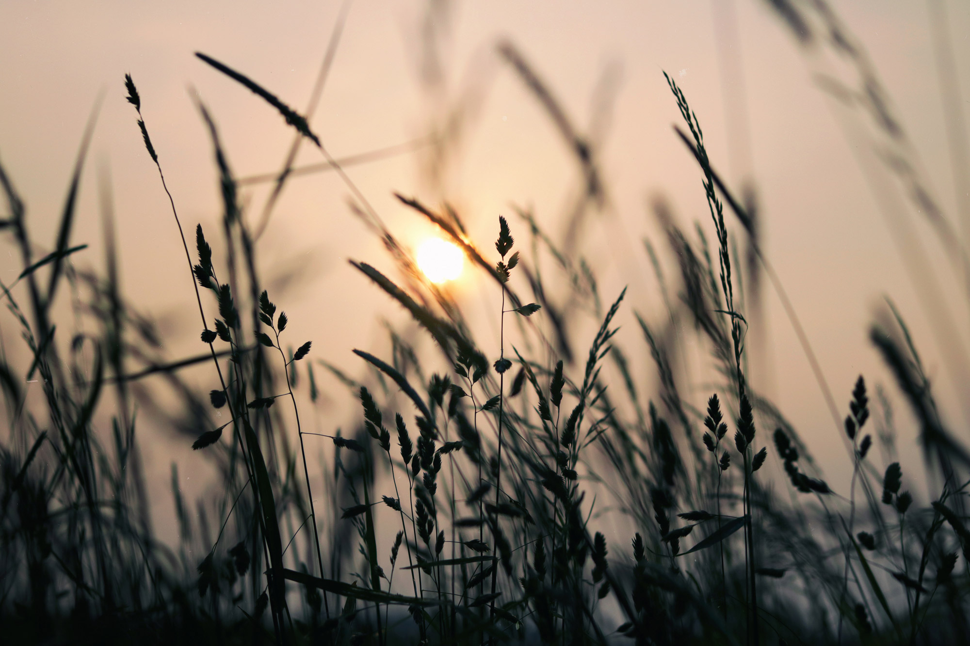 Meadow Grasses Sunset