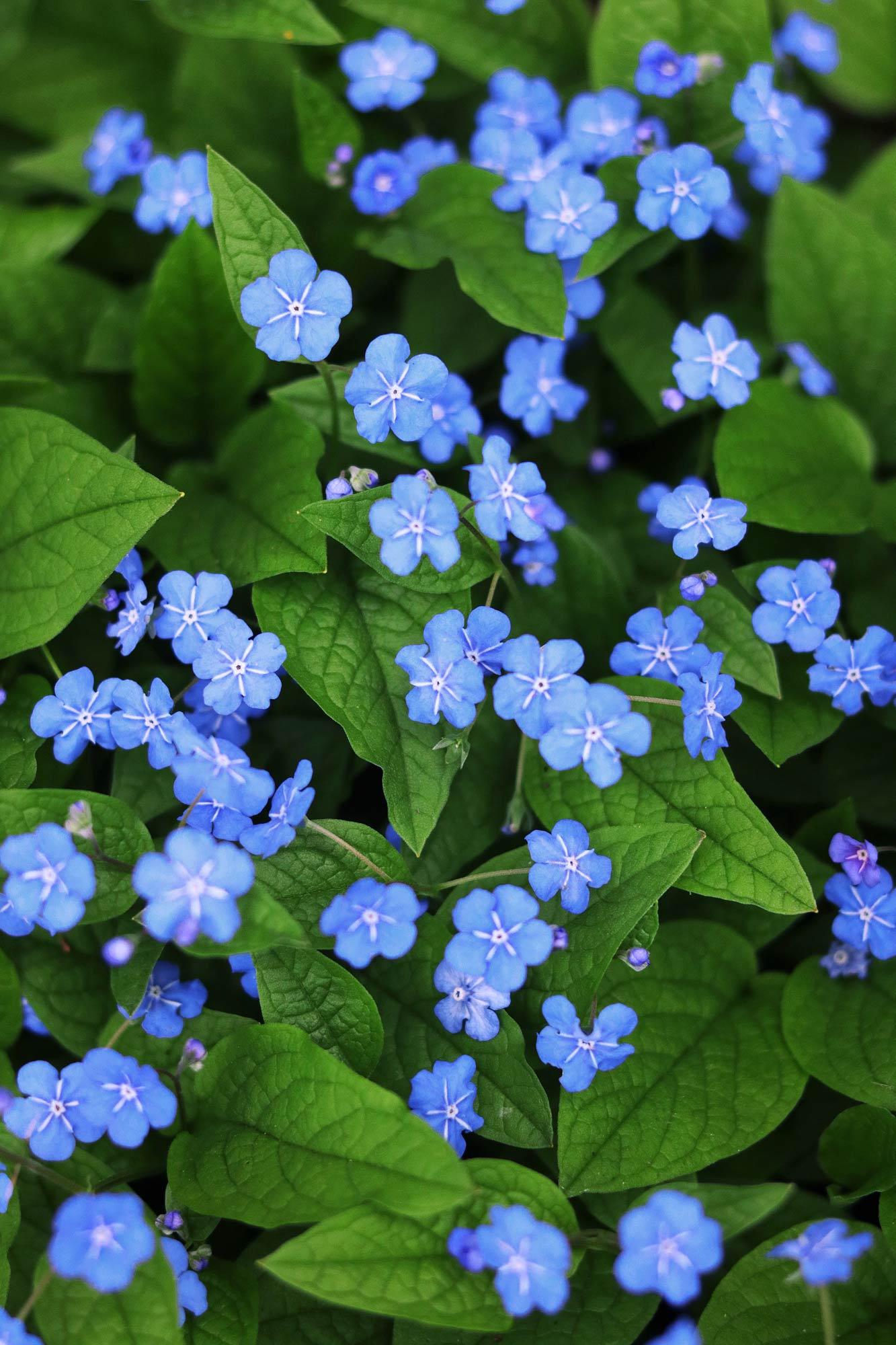 blaue blumen  kostenlose bilder download  titania foto