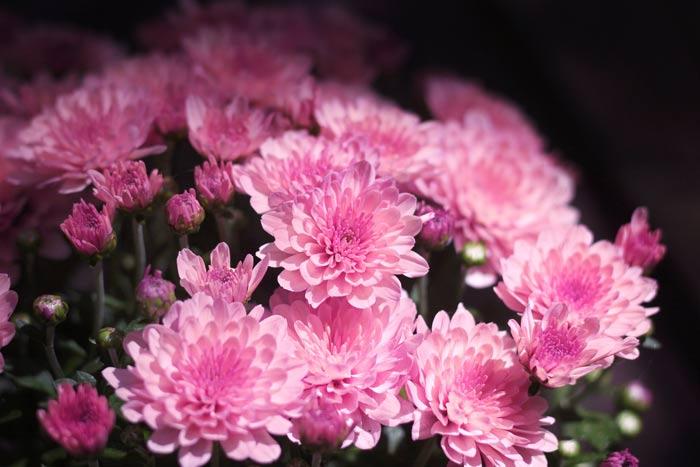 chrysanthemen rosa  kostenlose bilder download  titania foto